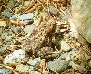 Tan colored, about 6cm long. Might have a dark brown mask in photo, indicative of wood frog