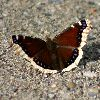 View full size photo of Mourning Cloak Butterfly in Eielson AFB, Alaska, USA