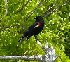 View full size photo of Red-winged Blackbird in Eastern Passage, Nova Scotia, Canada