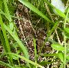 View full size photo of Pickerel Frog in Head of St. Margaret's Bay, Nova Scotia, Canada