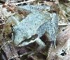 About 5cm long. Also known as the robber frog as it has a black mask.