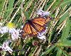 View full size photo of Viceroy Butterfly in Kentville, Nova Scotia, Canada