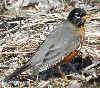 View full size photo of American Robin in Eastern Passage, Nova Scotia, Canada