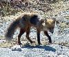 View full size photo of Red Fox in Duncan's Cove, Nova Scotia, Canada