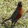View full size photo of American Robin in Halifax, Nova Scotia, Canada