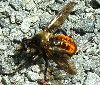 Very bright orange abdomen