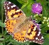 View full size photo of Painted Lady in Crystal Crescent Beach Park, Nova Scotia, Canada