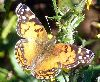View full size photo of American Painted Lady Butterfly in Halifax, Nova Scotia, Canada