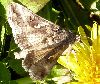 View full size photo of Owlet Moth in Kentville, Nova Scotia, Canada
