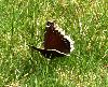 View full size photo of Mourning Cloak Butterfly in Halifax, Nova Scotia, Canada