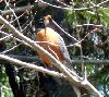 View full size photo of American Robin in Bedford, Nova Scotia, Canada