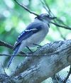 View full size photo of Blue Jay in Safety Harbor, FL, USA