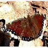 View full size photo of Mourning Cloak Butterfly in Wheatley, Ontario, Canada