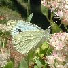 View full size photo of Cabbage Butterfly in Wheatley, Ontario, Canada