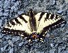 View full size photo of Eastern Tiger Swallowtail in Cole Harbour, Nova Scotia, Canada