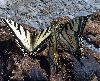 View full size photo of Eastern Tiger Swallowtail in Hammonds Plains, Nova Scotia, Canada