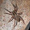 View full size photo of Wolf Spider - Forest Gladicosa Gulosa in Wheatley, Ontario, Canada