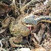 Garter Snake with American Toad (Bufo americanus) as prey. Wind east 46; low 6; high 24.