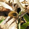 View full size photo of Bee Fly - Large Bombylius Major in Wheatley, Ontario, Canada