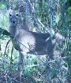 View full size photo of White-tailed Deer in Tarpon Springs, FL, USA