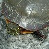 View full size photo of Painted Turtle in Wheatley, Ontario, Canada