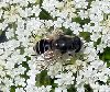 View full size photo of Hoverfly (Eristalis) in Wolfville, Nova Scotia, Canada
