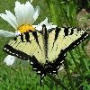 On Ox-eye Daisy. Wind gusting 74; rain; low 15; high 27.