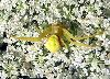 View full size photo of Goldenrod Crab Spider in Windsor Junction, Nova Scotia, Canada