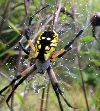 View full size photo of Yellow Garden Spider in Bedford, Nova Scotia, Canada