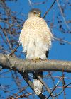 View full size photo of Red-tailed Hawk in Windwood Park, Mississauga, ON, Canada