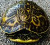 View full size photo of Box Turtle in Tarpon Springs, FL, USA