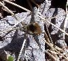 View full size photo of Bee Fly - Large Bombylius Major in Spryfield, Nova Scotia, Canada