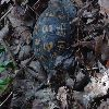 View full size photo of Eastern Box Turtle in Galloway Township, New Jersey, USA