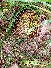 View full size photo of Eastern Box Turtle in Monroe Township / Olympic Park, New Jersey, USA