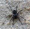 View full size photo of Thinlegged Wolf Spider in Hammonds Plains, Nova Scotia, Canada