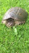 View full size photo of Common Snapping Turtle in Burlington, ON, Canada