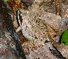 View full size photo of Wood Frog in Windsor Junction, Nova Scotia, Canada