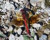 View full size photo of Eastern Band-winged Meadowhawk in Windsor Junction, Nova Scotia, Canada