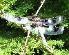 View full size photo of Twelve-spotted Skimmer in Bedford, Nova Scotia, Canada