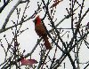 View full size photo of Northern Cardinal in Bedford, Nova Scotia , Canada