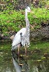 View full size photo of Great Blue Heron in Oldsmar, FL, FL, USA