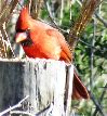 View full size photo of Northern Cardinal in Tarpon Springs, FL, FL, USA