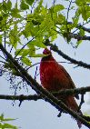 View full size photo of Cardinal in Halifax, Nova Scotia, Canada