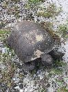 View full size photo of Gopher Tortoise in Tarpon Springs, FL, USA