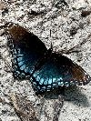 View full size photo of Red-spotted Purple in Blackwood , New Jersey, USA