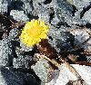 View full size photo of Coltsfoot in Crystal Crescent Park, Nova Scotia, Canada