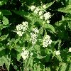 View full size photo of Boneset in Wheatley, Ontario, Canada
