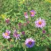 View full size photo of Aster, New England in Wheatley, Ontario, Canada