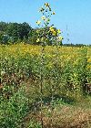 View full size photo of Sunflower, Tall in Wheatley, Ontario, Canada