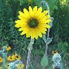 View full size photo of Sunflower, Downy in Wheatley, Ontario, Canada